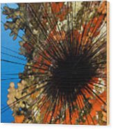 Longspined Sea Urchin Wood Print