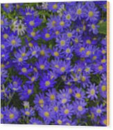 Longwood Hybrid Cineraria Wood Print
