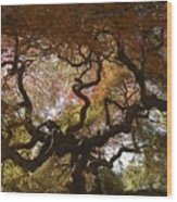 Looking Thru A Japanese Maple Wood Print
