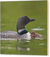 Loon And Chick Wood Print by Brandon Broderick