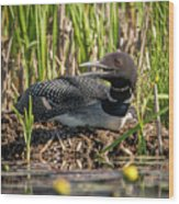 Loon On The Nest Wood Print