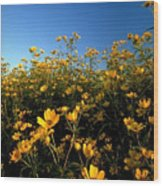 Lots Of Buttercups Against A Blue Sky Wood Print