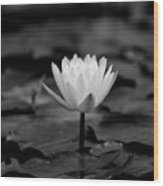 Lotus Blooms Wood Print