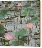 Lotus Pond-1 Wood Print