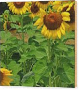 Louisa, Va. Sunflowers 3 Wood Print