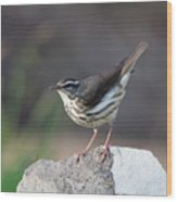 Louisiana Waterthrush Wood Print