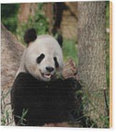 Lounging Giant Panda Bear With A Shoot Of Bamboo Wood Print