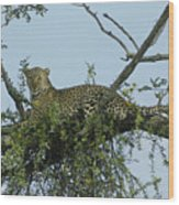 Lounging Leopard Wood Print