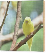 Lovable Little Budgie Parakeet Living In Nature Wood Print