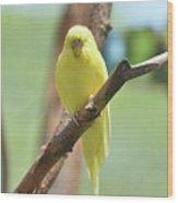 Lovable Yellow Budgie Parakeet Bird Up Close Wood Print