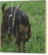 Lovely Billy Goat With Silky Black And Brown Fur Wood Print
