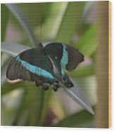 Lovely Blue And Black Emerald Swallowtail Buterfly Wood Print