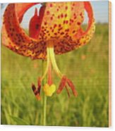 Lovely Orange Spotted Tiger Lily Wood Print