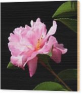 Lovely Pink Camelia Wood Print