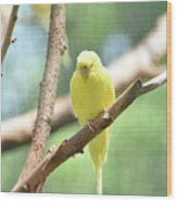 Lovely Yellow Budgie Parakeet In The Wild Wood Print