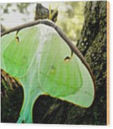 Luna Moth No. 3 Wood Print