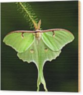 Luna Moth Spreading Its Wings. Wood Print