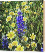 Lupine Amidst Tidy Tips Wood Print