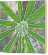 Lupine Leaf And Raindrop Wood Print
