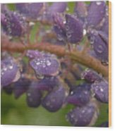 Lupine With Raindrops Wood Print