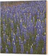 Lupines Wood Print