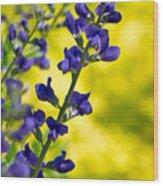 Lupinus Latifolius On Yellow Wood Print