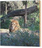 Lying Lion Wood Print