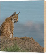 Lynx In Profile On Rock Looking Down Wood Print