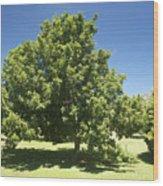 Macadamia Nut Tree Wood Print by Kicka Witte - Printscapes