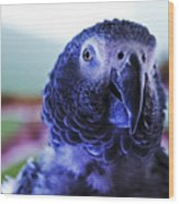 Macaw Parrot Blue Looking At You Wood Print