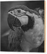 Macaw Portrait In Black And White Wood Print