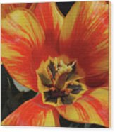 Macro Of A Blooming Striped Yellow And Red Tulip Wood Print