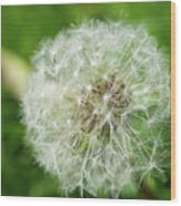 macro shot of a beautiful Dandelion. Wood Print