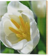 Macros White Tulip May-2011 Wood Print