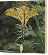 Madagascar Comet Moth Wood Print