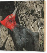 Magellanic Woodpecker - Patagonia Wood Print
