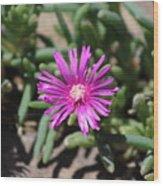 Magenta Purple Desert Moss Rose Wood Print