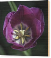Magenta Tulip Center Squared Wood Print