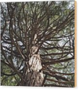 Magic Of The Giant Sequoia  Wood Print