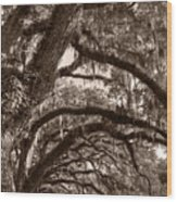Magnificant Live Oak Trees  Wood Print