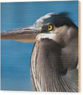 Magnificent Blue Heron Wood Print