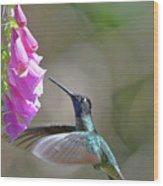 Magnificent Hummingbird A Wood Print
