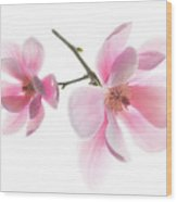 Magnolia Is The Harbinger Of Spring. Wood Print