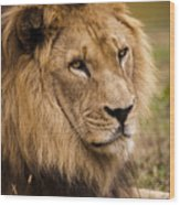 Magnificent Male Lion Wood Print