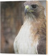 Magnificent Red-tailed Hawk  Wood Print