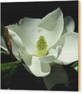 Magnificent White Magnolia - Photography Wood Print