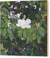 Magnolia Blooming 3 Wood Print