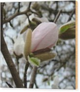 Magnolia Flower Pink White 19 Magnolia Tree Spring Art Wood Print
