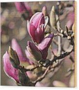 Magnolia In Bloom Wood Print