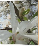 Magnolia Tree Flowers Art Prints White Magnolia Flower Wood Print